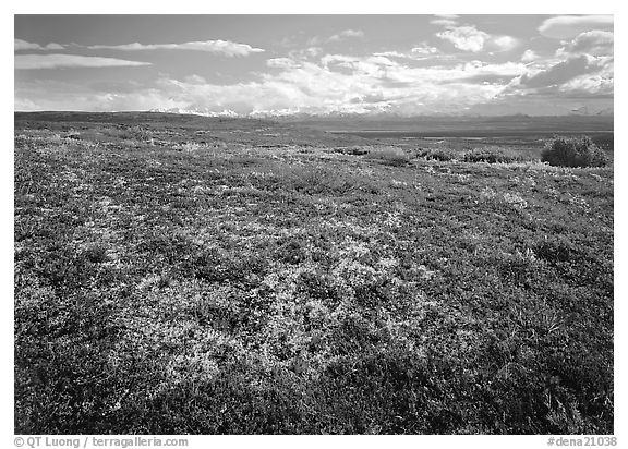 Tundra with Low lying leaves in bright red autumn colors. Denali  National Park (black and white)
