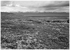 Red tundra flat and Alaska Range in the distance. Denali  National Park ( black and white)