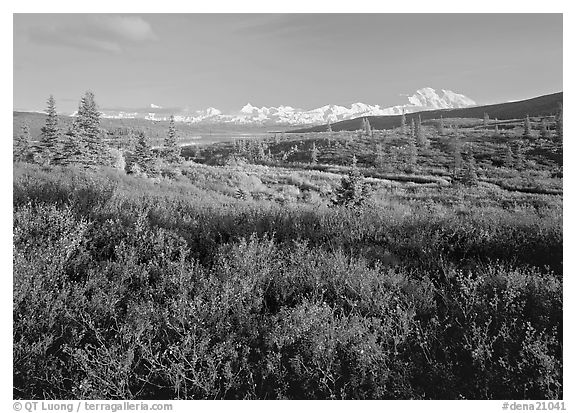 Tundra in autumn colors and snowy mountains of Alaska Range. Denali  National Park (black and white)