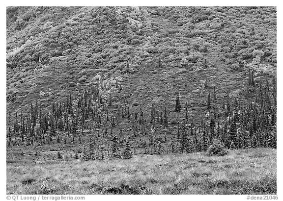 Tundra and conifers on hillside with autumn colors. Denali  National Park (black and white)