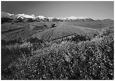 Berry plants, wide valley and gravel bars from seen from above, morning. Denali National Park, Alaska, USA. (black and white)