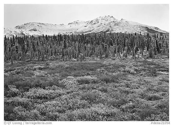 Tundra, spruce trees, and mountains with fresh snow in fall. Denali National Park (black and white)