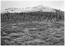 Tundra, spruce trees, and mountains with fresh snow in fall. Denali  National Park ( black and white)