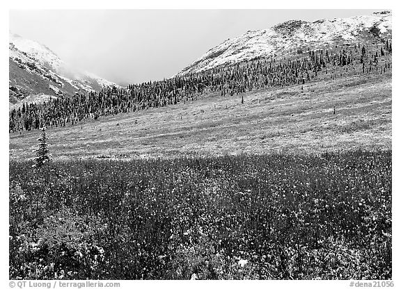 Fresh snow on tundra near Savage River. Denali National Park (black and white)