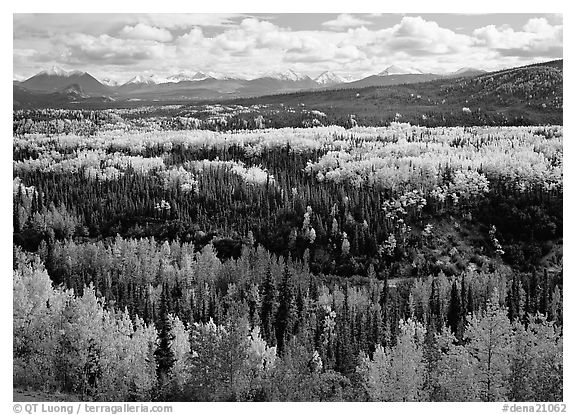 Yellow aspens and Panorama Range, Riley Creek drainage. Denali National Park (black and white)