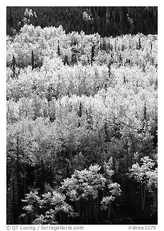 Aspens in yellow fall foliage amongst conifers, Riley Creek drainage. Denali National Park (black and white)