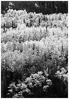 Aspens in yellow fall foliage amongst conifers, Riley Creek drainage. Denali National Park, Alaska, USA. (black and white)