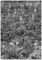 Dwarf tundra plants with red fall colors. Denali National Park, Alaska, USA. (black and white)
