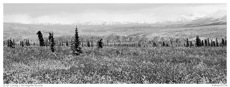 Tundra scenery with early fresh snow. Denali National Park (black and white)