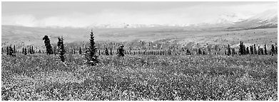 Tundra scenery with early fresh snow. Denali National Park (Panoramic black and white)