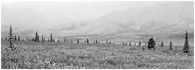Misty mountain scenery with fresh snow on tundra. Denali National Park (Panoramic black and white)
