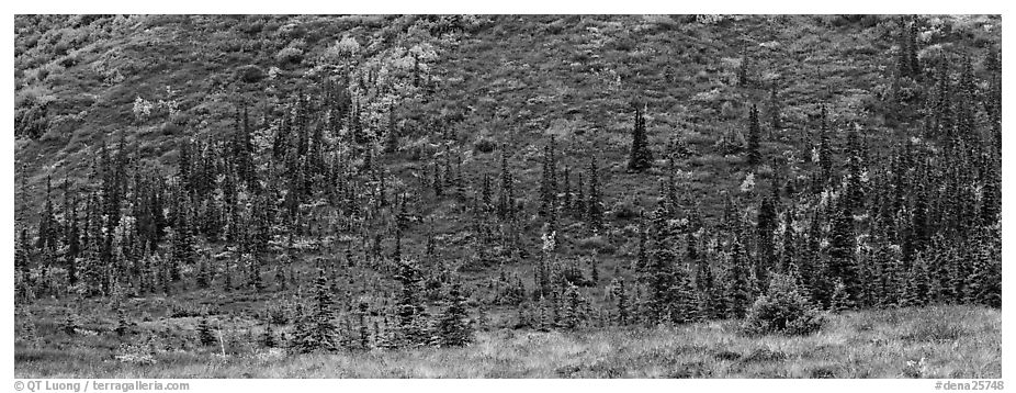 Autumn boreal forest and tundra on slope. Denali National Park (black and white)
