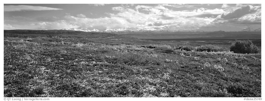Carpet of berry plants in autumn with distant Alaska Range. Denali National Park (black and white)