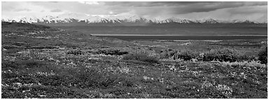 Tundra landscape with red berry plants and Alaskan mountains. Denali National Park (Panoramic black and white)