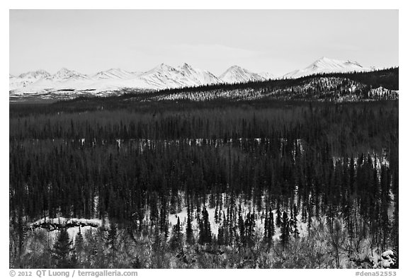 Bare forest in winter. Denali National Park (black and white)
