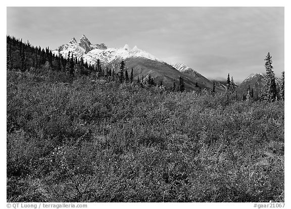 Red tundra shrubs and Arrigetch Peaks in the distance. Gates of the Arctic National Park (black and white)