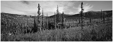 Mountain landscape with berry plants in fall colors, forest, and snow-dusted peaks. Gates of the Arctic National Park (Panoramic black and white)