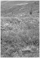Tundra on mountain side in autumn. Gates of the Arctic National Park ( black and white)
