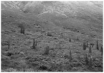 Tundra and spruce trees on mountain side below snow line. Gates of the Arctic National Park, Alaska, USA. (black and white)