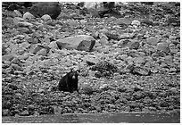 Black bear digging for clams. Glacier Bay National Park ( black and white)
