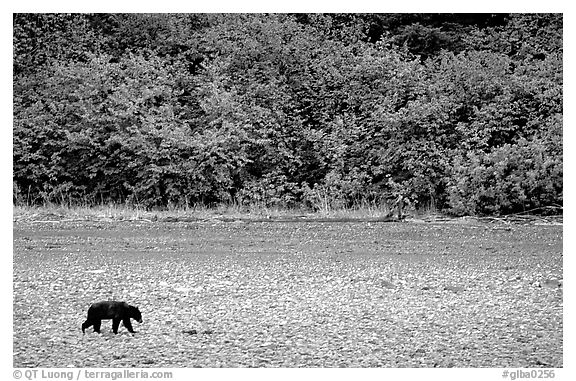 Grizzly bear on beach. Glacier Bay National Park (black and white)