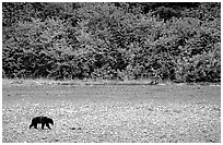 Grizzly bear on beach. Glacier Bay National Park ( black and white)