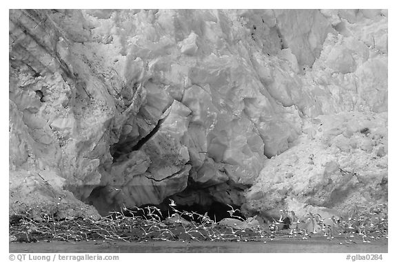 Sea birds at the base of Lamplugh glacier. Glacier Bay National Park (black and white)