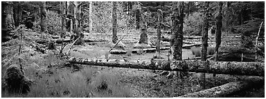 Temperate rainforest scenery. Glacier Bay National Park (Panoramic black and white)