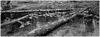 Fallen logs in pond. Glacier Bay National Park (Panoramic black and white)
