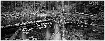 Rainforest pond. Glacier Bay National Park (Panoramic black and white)