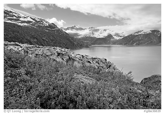 Lupine, Lamplugh glacier, and turquoise bay waters. Glacier Bay National Park (black and white)