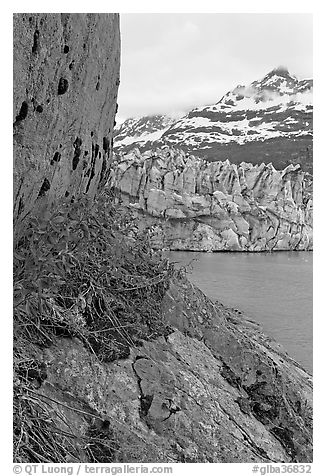 Dwarf fireweed, Lamplugh glacier, and Mt Cooper. Glacier Bay National Park (black and white)