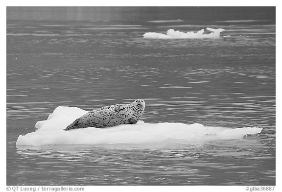 Seal hauled out on iceberg. Glacier Bay National Park (black and white)