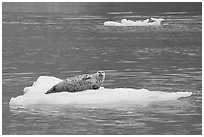 Seal hauled out on iceberg. Glacier Bay National Park, Alaska, USA. (black and white)