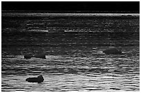 Ripples and icebergs at sunset, Tarr Inlet. Glacier Bay National Park, Alaska, USA. (black and white)