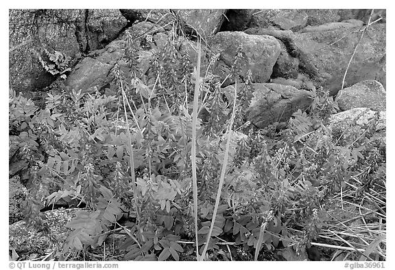Fireweed and boulders. Glacier Bay National Park (black and white)