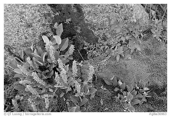 Moss, dwarf fireweed, and rocks. Glacier Bay National Park (black and white)