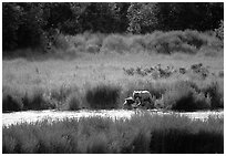 Brown bears in Brooks river. Katmai National Park, Alaska, USA. (black and white)