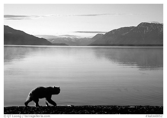 Alaskan Brown bear (Ursus arctos) on the shore of Naknek lake. Katmai National Park (black and white)
