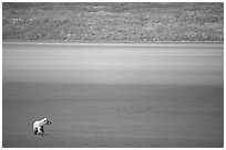Brown bear in shallows waters of Naknek lake. Katmai National Park, Alaska, USA. (black and white)