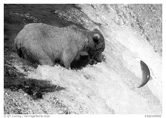 Alaskan Brown bear trying to catch leaping salmon at Brooks falls. Katmai National Park (black and white)