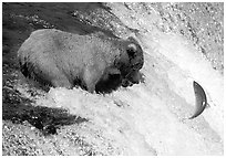 Alaskan Brown bear trying to catch leaping salmon at Brooks falls. Katmai National Park ( black and white)