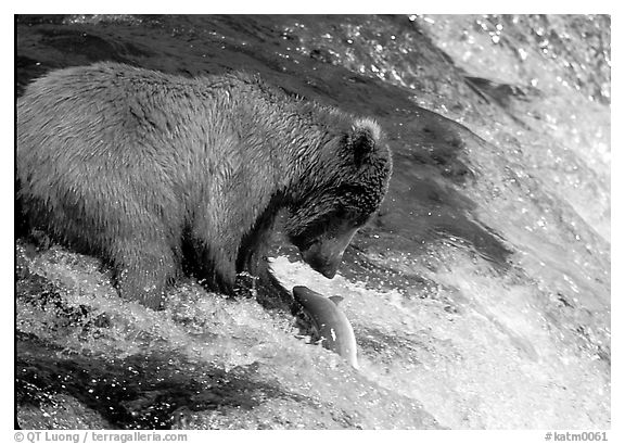 Brown bear (Ursus arctos) catching leaping salmon at Brooks falls. Katmai National Park (black and white)