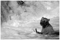 Alaskan Brown bear (Ursus arctos) fishing at the base of Brooks falls. Katmai National Park ( black and white)