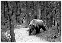Brown bears encounters on trail are frequent at Brooks camp. Katmai National Park ( black and white)