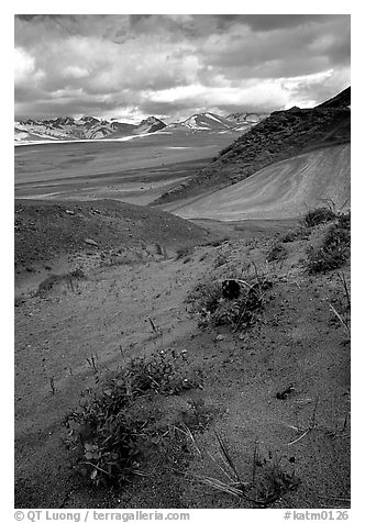 Wildflowers grow on ash at the limit of the Valley of Ten Thousand smokes. Katmai National Park (black and white)