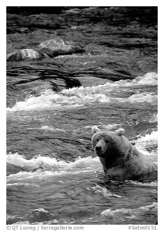 Alaskan Brown bear (Ursus arctos) fishing for salmon at Brooks falls. Katmai National Park (black and white)