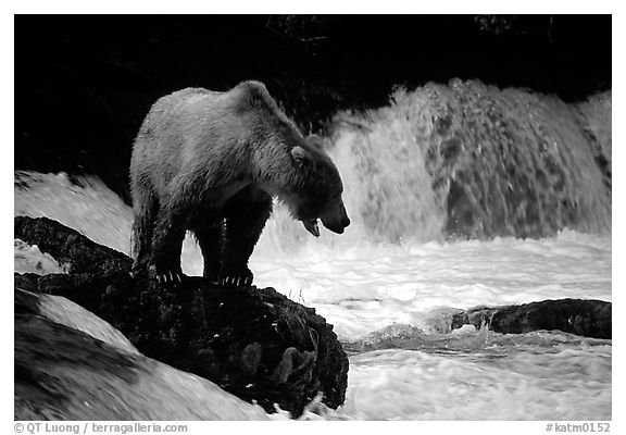 Brown bear standing on rock at Brooks falls. Katmai National Park (black and white)