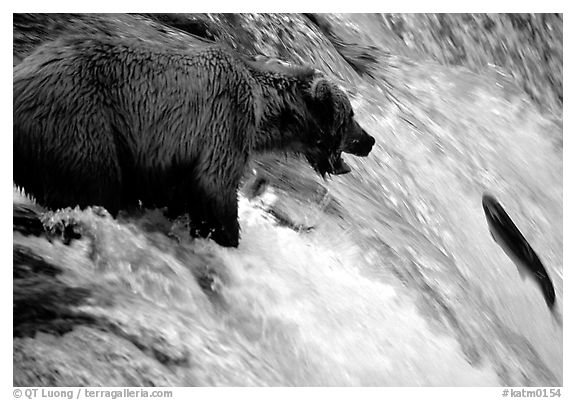 Brown bear (Ursus arctos) trying to catch leaping salmon at Brooks falls. Katmai National Park (black and white)