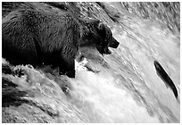 Brown bear (Ursus arctos) trying to catch leaping salmon at Brooks falls. Katmai National Park, Alaska, USA. (black and white)